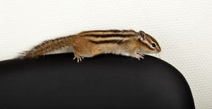 Siberian Chipmunk, Eutamias, Tamias sibiricus. The  tame chipmunk runs on a chair back. The photo is made in studio Royalty Free Stock Photos