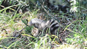 Siberian chipmunk gets out of the hole stock video footage