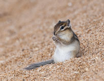 Siberian chipmunk on grain pile eating wheat Stock Photo