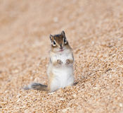 Siberian chipmunk on grain pile eating wheat Stock Images