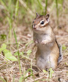Siberian Chipmunk on hind legs Stock Photography