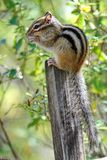 Siberian chipmunk Latin Tamias sibiricus. The chipmunks include 25 species, most of which live in North America. Except for one Eurasian species - the Siberian royalty free stock photography