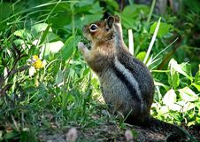 Siberian chipmunk Latin Tamias sibiricus. The chipmunks include 25 species, most of which live in North America. Except for one Eurasian species - the Siberian stock images