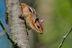 Siberian chipmunk Latin Tamias sibiricus. The chipmunks include 25 species, most of which live in North America. Except for one Eurasian species - the Siberian royalty free stock photo