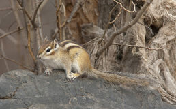 Siberian chipmunk on log in the forest with branches Stock Photography