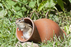 Siberian chipmunk in a pot in the garden with green foliage Royalty Free Stock Images