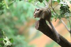 Siberian chipmunk Stock Photography