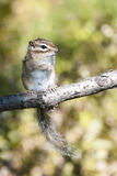 Siberian chipmunk standing on tree limb in the forest Royalty Free Stock Photos