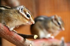 Siberian chipmunk (Tamias sibiricus) Stock Photography