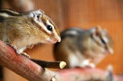 Siberian chipmunk (Tamias sibiricus). Pet, animal Stock Photography