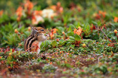 Siberian chipmunk. (Tamias sibiricus) in Hokkaido, Japan Royalty Free Stock Image