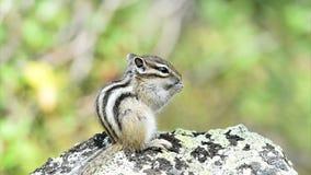 Siberian chipmunk (Tamias sibiricus) stock video footage