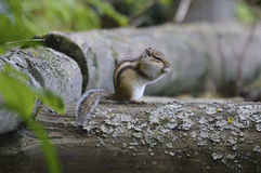 Siberian chipmunk. Royalty Free Stock Images