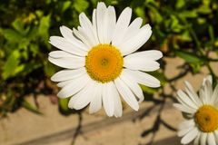 siberian chrysanthemum by the roadside royalty free stock photography