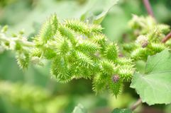 Siberian Cocklebur. Annual herb of Xanthium with a height of up to 90 cm royalty free stock photography
