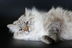 Siberian color point cat. Siberian Color Point female cat on a black background Stock Photos