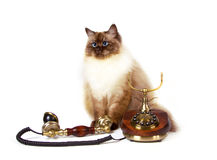 Siberian color point cat wirh telephone Royalty Free Stock Images