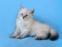 Siberian colorpoint kitten stock image