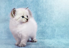 Siberian colorpoint kitten Royalty Free Stock Photos