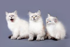 Siberian colorpoint kittens royalty free stock photo