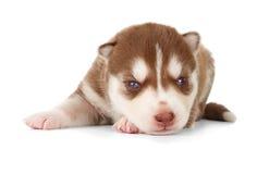 Siberian cooper red husky puppy Stock Photos