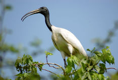 Siberian crane Royalty Free Stock Photography