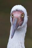 Siberian crane Stock Photos