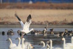 Siberian Crane Royalty Free Stock Photo