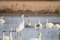 Siberian Crane Royalty Free Stock Images