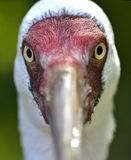 Siberian Crane Stock Photography