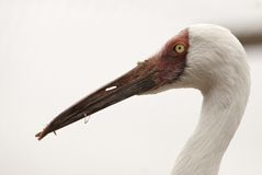 Siberian Crane portrait Royalty Free Stock Photo
