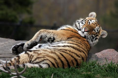 Siberian Cub. Siberian Tiger cub rolling over to stare at the camera Royalty Free Stock Image