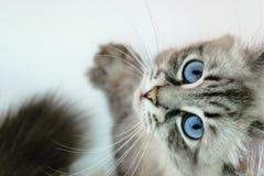 Siberian curioso Neva Masquerade Cat Looking acima em Backgro branco foto de stock royalty free