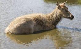 Siberian deer Royalty Free Stock Photo
