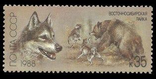 Siberian do leste Laika imagem de stock
