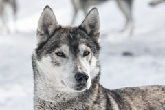 Siberian dog Royalty Free Stock Image