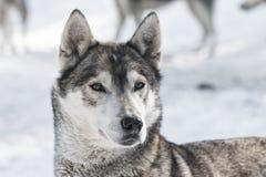 Siberian dog. Detail of the face Siberian dog Royalty Free Stock Image