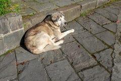 Siberian dog in taiwan. Siberian dog in taiwan stock photo
