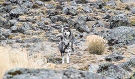 Siberian dogs stock photo