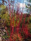 Siberian dogwood shrub Stock Photo