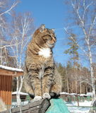 Siberian domestic cat on the fence. Cat basks in the sun, leaping on the pillar of the fence of the house Stock Images