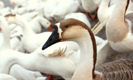 Siberian duck Royalty Free Stock Photography