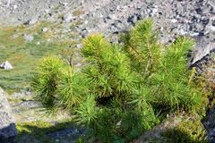 Siberian dwarf pine in mountain tundra stock images