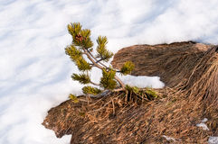 Siberian dwarf pine and snow Royalty Free Stock Photography