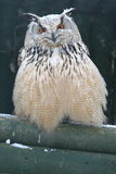 Siberian eagle owl. The siberian eagle owl sitting on the wood royalty free stock images