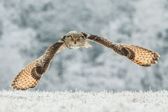 Siberian Eagle Owl royalty free stock image