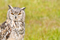 Siberian Eagle Owl or Bubo bubo sibericus Royalty Free Stock Photo