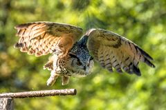 Siberian eagle owl, bubo bubo sibiricus. The biggest owl in the world royalty free stock photos