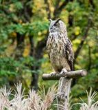 Siberian eagle owl, bubo bubo sibiricus. The biggest owl in the world. The Siberian eagle owl, bubo bubo sibiricus is the biggest owl in the world royalty free stock photo