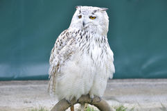 Siberian eagle owl or bubo bubo sibiricus. Siberian eagle owl, or bubo bubo sibiricus, perched on an innkeeper Royalty Free Stock Photo
